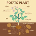 Illustration showing parts of potato platnt Royalty Free Stock Photo