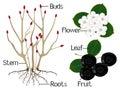 The illustration shows part of the black chokeberry Aronia melanocarpa plants.