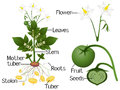 The illustration shows parts of a potato plant. Royalty Free Stock Photo