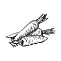 Illustration vector doodle hand drawn of sketch carrot isolated.