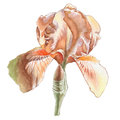 Illustration with watercolor flower. Iris.