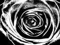 Illustration Of A Wild Rose