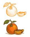 Illustrations of tangerine