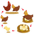 Illustrator of chicken life cycle Royalty Free Stock Photo