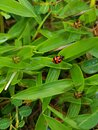 The Illution of Lady Bugs on The Grass Royalty Free Stock Photo