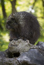Im not ugly porcupine on log in green forest background Royalty Free Stock Image