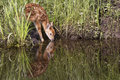 Im thirsty baby whitetail fawn drinking water at a streams edge with reflection in water Stock Photos