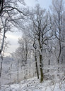 Image of beautiful trees in winter forest Royalty Free Stock Photo