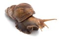 Image of big snail Royalty Free Stock Photo