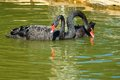 Image of black swans on the water closeup Stock Image
