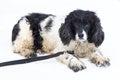 Image of black and white mongrel dog on background Royalty Free Stock Photo