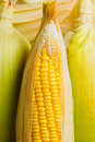 Image of Corns Stock Image