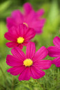Image of cosmos flower. Royalty Free Stock Images