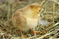 Image of day old chick close up on hay Stock Photo
