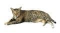 Image de chat d isolement Images libres de droits