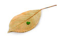 Image of dried leaves on white background Royalty Free Stock Photo