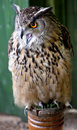 Image of european eagle owl bubo bubo crying Royalty Free Stock Photography
