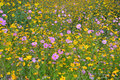 Image of a field of yellow and pink flowers Royalty Free Stock Photos