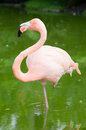 Image four flamingos water Royalty Free Stock Photo