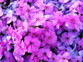 Image full of violet flowers Stock Photos