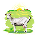The image of a goat grazing in a pasture