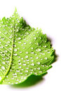 Image of green leaf with drops of water Royalty Free Stock Photo