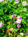 A Honeybee Collecting Pollen from Purple Flowers Royalty Free Stock Photo