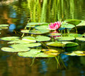 Image of a lotus flower on the water against  the sun background Royalty Free Stock Photo
