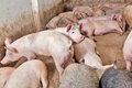 Image pigs grown pig farm Royalty Free Stock Photos
