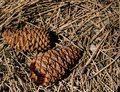 Image of pinecones demonstrating the spiral formation of the seed pods to maximize the number of seed that can be packed in the Royalty Free Stock Photo