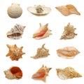 Image of seashells on white background Royalty Free Stock Photo