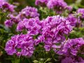 Flowers in a garden in London, England - a sunny day, summer 2018. Royalty Free Stock Photo