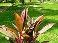 Purple leaves` plant at sunlight