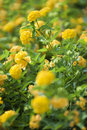 Image of yellow shrub Verbena. Stock Photo