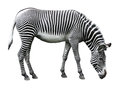 Image of zebra isolated on white Royalty Free Stock Photo