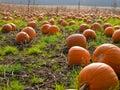 Imagem de fundo do campo da abóbora de Halloween Fotografia de Stock Royalty Free