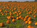 Imagem de fundo do campo da abóbora de Halloween Imagens de Stock