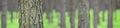 Imagen panorámica del bosque del pino de la primavera Fotografía de archivo libre de regalías