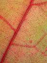 Immagine a macroistruzione di struttura rossa del foglio Immagine Stock