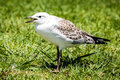 Immature australian seagull crying out for food juvenile chroicocephalus novaehollandiae while standing on a green lawn Royalty Free Stock Photo