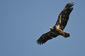 Immature bald eagle flying in a blue sky clear Stock Photography