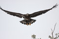 Immature bald eagle an flying in north idaho Stock Photo