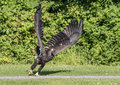 Immature bald eagle on the ground an sitting photo taken in poughkeepsie ny hudson valley region Stock Images