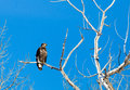 Immature bald eagle an perched in a tree Stock Images