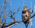 Immature bald eagle an sits on the limb of a dead tree in search for its next meal Stock Photo