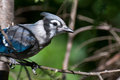 Immature Blue Jay in Tree Stock Image