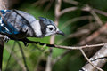 Immature Blue Jay in Tree Royalty Free Stock Photos
