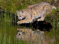 Immature bobcat at pond with paw dripping just out of the water Stock Images