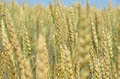Immature ears of wheat in the field a large Stock Photography
