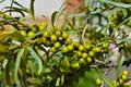 Immature Fruits Of Sea-buckthorn Berries On A Green Bush Tree